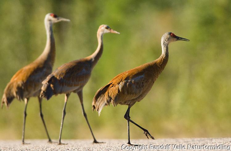 Traner på veien nær Fort Providence i Canada. ----- Cranes on road, near Fort Providence, Canada.