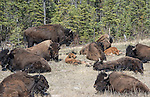 Herd of wild wood bison including young along Mackenzie Highway.