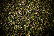 The first flush Darjeeling tea leaves' pluck is spread out during the weithering process at Makaibari Tea Estate factory, Kurseong in Darjeeling, India.