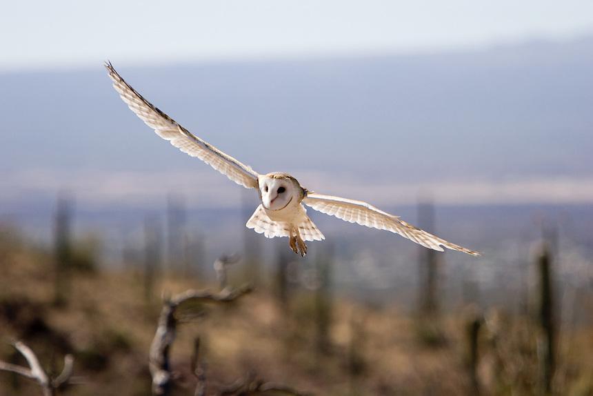 Barn Owl in flight over the Arizona Desert