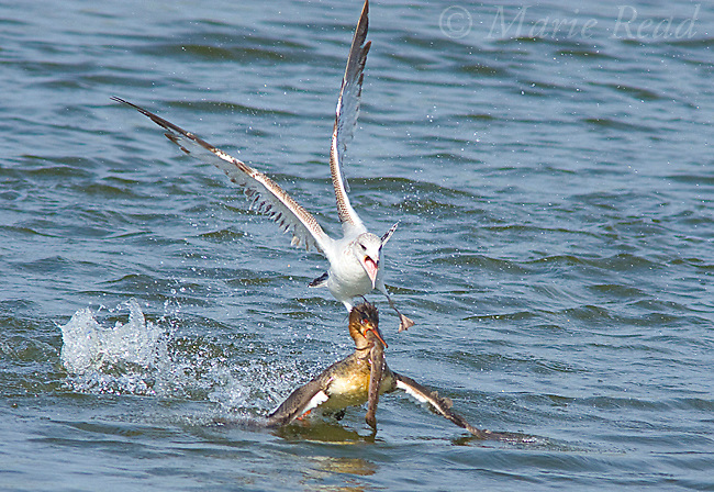 Red-breasted Merganser (Mergus serrator) with large fish, trying to escape attempted robbery by Ring-billed Gull (Larus delawarensis), Bolsa Chica Ecological Reserve, California, USA
