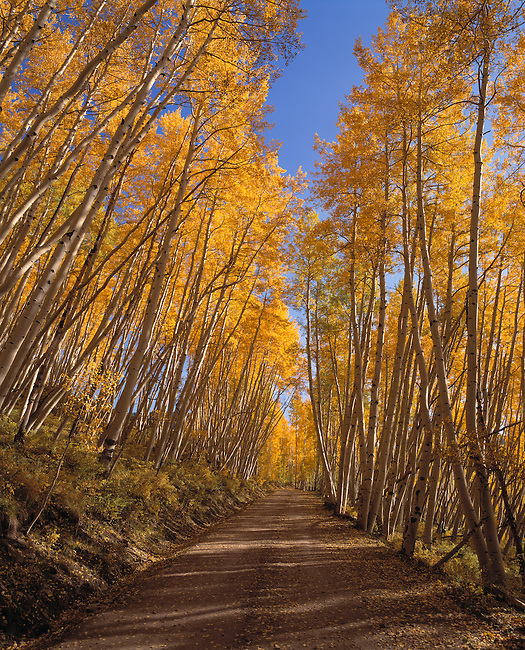 Autumn-colored canopy of aspen trees line Last Dollar Road, near Telluride, CO