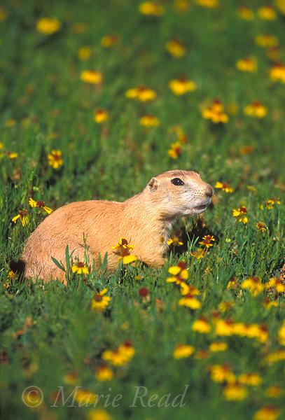 Black-tailed Prairie Dog (Cynomys ludovicianus), amid prairie wildflowers, Wichita Mountains National Wildlife Refuge, Oklahoma, USA<br /> Slide # M14-657