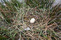 Graugans, Ei, Eier, Gelege, Nest, Grau-Gans, Gans, Anser anser, graylag goose, grey lag goose