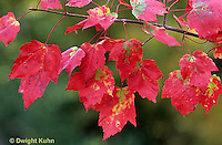 MP09-001z  Red maple leaves in autumn -  Acer rubrum