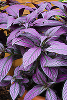 Strobilanthes dyerianus (Persian Shield) with purple and silver foliage