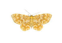 70.114 (1876)<br /> Small Yellow Wave - Hydrelia flammeolaria