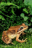 FR19-022d  Wood Frog - adult - Lithobates sylvaticus, formerly Rana sylvatica