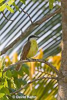 0701-1111  Social Flycatcher (Vermilion-crowned Flycatcher), Belize River in Belize, Myiozetetes similis  © David Kuhn/Dwight Kuhn Photography