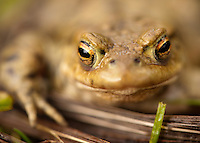 Close-up of a Common Toad,  Bufo bufo, in a farm pond, Chipping, Lancashire.