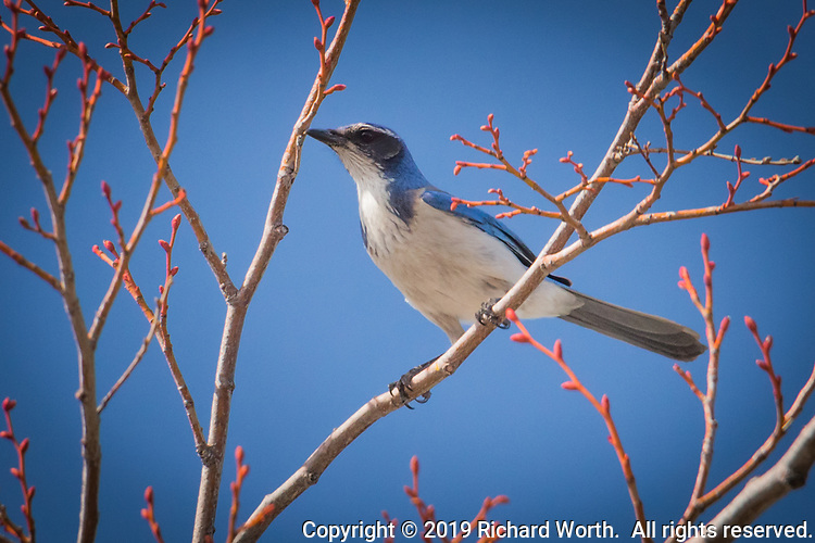 A touch of urban wildlife in a big-box store parking lot as a California Scrub-Jay  surveys the territory from the upper most tree branches.