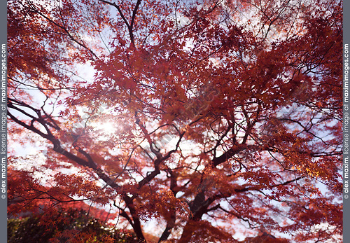Sunlight shining through red leaves of a beautiful Japanese maple, Acer palmatum, in autumn scenery in Kyoto, Japan Image © MaximImages, License at https://www.maximimages.com