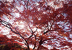Sunlight shining through red leaves of a beautiful Japanese maple, Acer palmatum, in autumn scenery in Kyoto, Japan