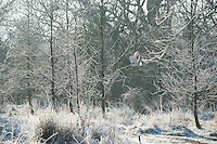 Barn Owl flying through frosty woodland, Chipping, Lancashire.