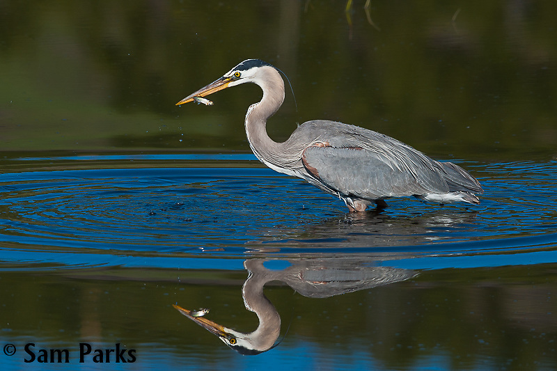 Great blue heron with minnow. Yellowstone National Park, Wyoming.