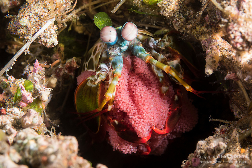 Dumaguete, Dauin, Negros Oriental, Philippines; a peacock mantis shrimp, with thousands of pink eggs, at the entrance to it's burrow