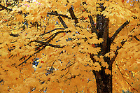 A Sugar maple tree displays golden fall foliage.