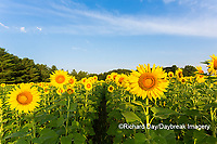 63801-07511 Sunflower field Sam Parr State Park Jasper County, IL