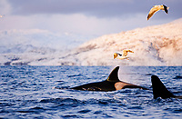 Killer whale, Orcinus orca, surfacing during feeding event, gulls above, Tysfjord, Arctic Norway, North Atlantic