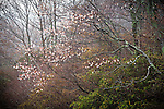 Blooming sarvis in foggy forest, Blue Ridge Parkway