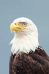 Ediz Hook is a three mile-long sand spit that circles the deep water harbor of Port Angeles. We had a terrific look at these Bald Eagles <br /> patrolling Ediz Hook.