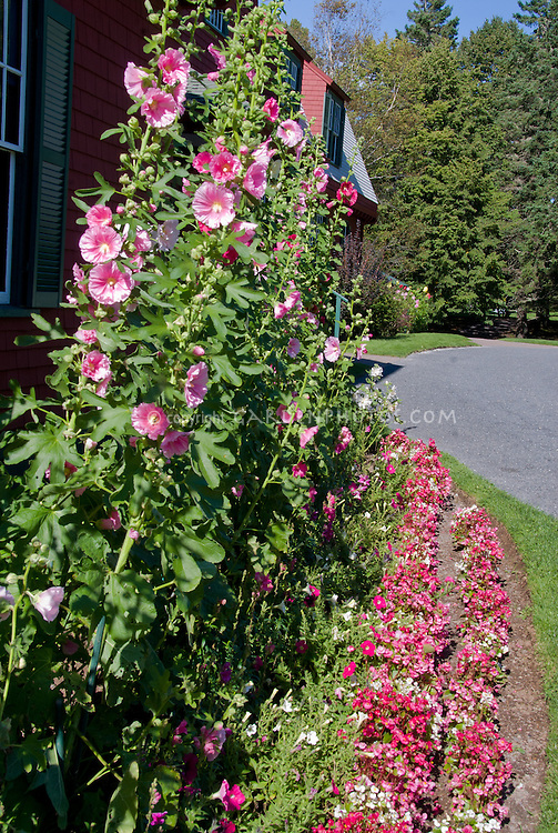 Pink hollyhocks against house plant flower stock photography hollyhocks alcea tall vertical plant pink and red flowers in front of mightylinksfo