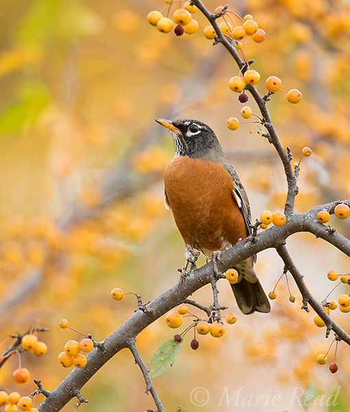 America Robin (Turdus migratorius) perched amid yellow crabapples (Malus sp.) in autumn, Ithaca, New York, USA