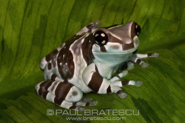 Amazon Milk Frog (Trachycephalus resinifictrix) Amazon milk frogs are fairly large frogs, reaching sizes of 2.5 to 4 inches in length. Adult frogs are light grey in color with brown or black banding, while juveniles will exhibit stronger contrasts. As Amazon Milk Tree Frogs age their skin will develop a slightly bumpy texture.<br />
