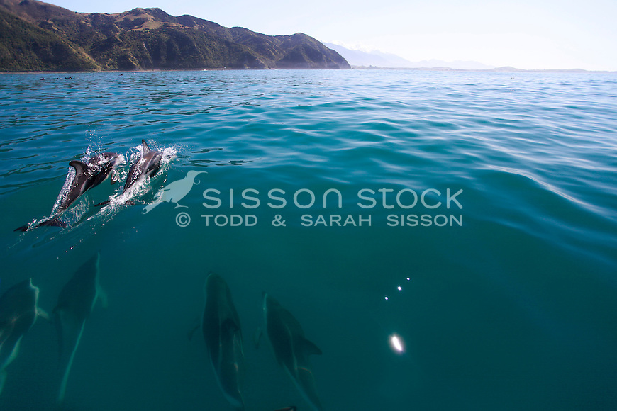 Dusky dolphins swim in the sea with the Kaikouras in the background, early morning, South Island, New Zealand