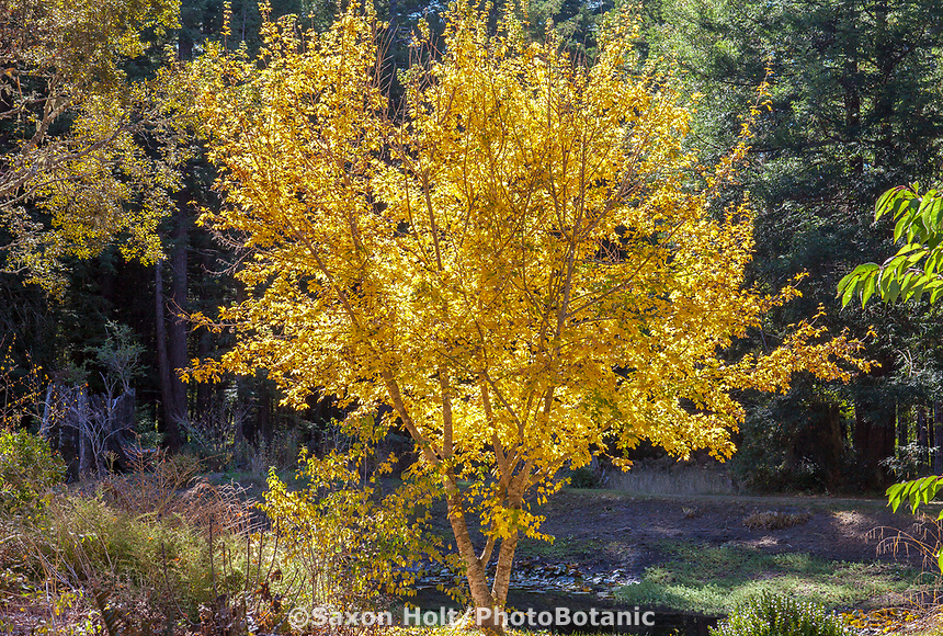 Maple tree (Acer palmatum) with leaves and branches backlit - yellow autumn foliage, Gary Ratway garden