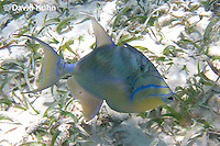 0705-1103  Queen Triggerfish, First Dorsal Spine Slightly Raised, Caribbean Ocean, Balistes vetula  © David Kuhn/Dwight Kuhn Photography