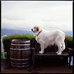 Hannah, one of the beloved dogs at Lang Vineyards in Dundee, Oregon