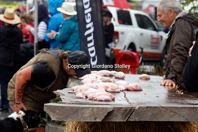 Hunterville, New Zealand- October 27, 2018 - A Shepherd grabs a set of bull's testicles with her mouth before having to carry them 10 metres and dropping them in a bucket during the annual Shemozzle obstacle course in which the canines and shepherds tackkle mudslides, ride in wheel barrows and as seen here, carry bulls testicles. The annual Shemozzle race draws thousands every year to this town of less than 500 people. Picture: Giordano Stolley