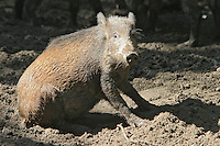 Germany, DEU, Muenster, 2004-Sep-08: A wild boar (sus scrofa) sitting on muddy ground in the Muenster zoo.