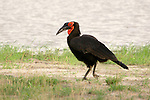 Southern ground hornbills (Trachuphonus vaillantii) are some of the most long-lived birds.<br />