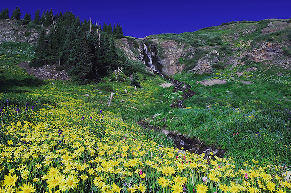 Waterfall and wildflowers in alpine meadow, Heartleaf Arnica,Arnica cordifolia, Ouray, San Juan Mountains, Rocky Mountains, Colorado, USA, July 2007