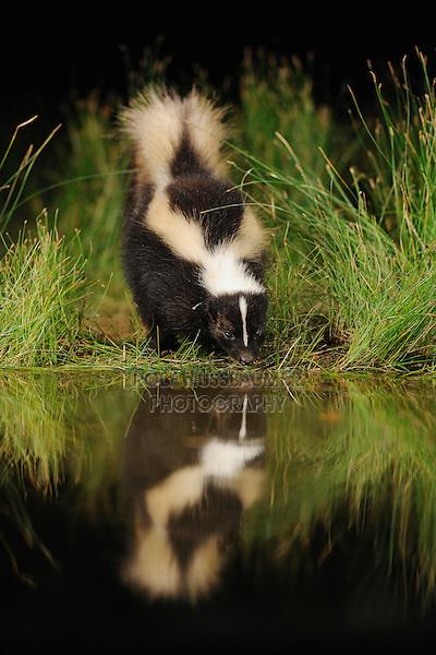 Striped Skunk (Mephitis mephitis), adult at night drinking from wetland lake, Fennessey Ranch, Refugio, Coastal Bend, Texas Coast, USA
