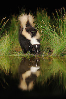 Striped Skunk (Mephitis mephitis), adult at night drinking from wetland lake, Fennessey Ranch, Refugio, Coastal Bend, Texas Coast, USA