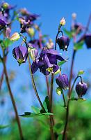 Gewöhnliche Akelei, Aquilegia vulgaris, Columbine, Granny´s Bonnet