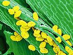 Pollen, Goldenrod pollen Human allergen, 500x magnification