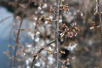 A weeping white yoshino cherry tree blooms Wednesday March 18, 2020 at the Botanical Garden of the Ozarks in Fayetteville.  (NWA Democrat-Gazette/J.T. Wampler)