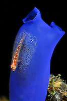 Pleurosicya mossambica auf Rhopalaea crassa, Vielwirt-Zwerggrundel auf blauer Seescheide, Toothy goby Sea squirt, Bali, Indonesien, Indopazifik, Bali, Indonesia Asien, Indo-Pacific Ocean, Asia