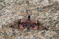 Abendpfauenauge, Abend-Pfauenauge, Smerinthus ocellata, Smerinthus ocellatus, Eyed Hawk-Moth, Eyed Hawkmoth, Le sphinx demi-paon, Schwärmer, Sphingidae, hawkmoths, hawk moths, sphinx moths