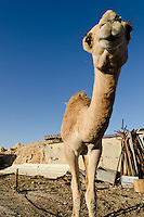 A young camel in the Bedouin village of Abu Queirnat, in Israel's Negev Desert.