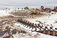 Barbed wire fence surrounds the carcasses of bowhead whales in the native inupiat village of Kaktovik, Alaska.