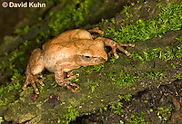 0302-0909  Spring Peeper Frog Climbing Mossy Tree Bark, Pseudacris crucifer (formerly: Hyla crucifer)  © David Kuhn/Dwight Kuhn Photography