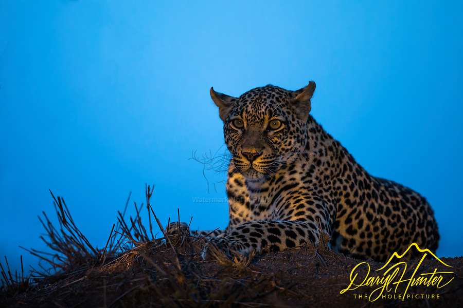 A leopard relaxing on his perch atop a termite mound in Sabi Sands Game Preserve in South Africa. It was amazing to be ins such close proximity to such a powerful predator