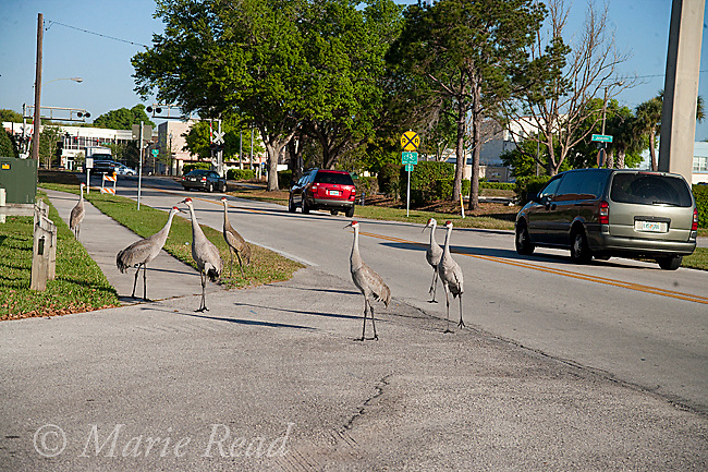 Sandhill Cranes (Grus canadensis), group in a city street, Kissimmee, Florida, USA