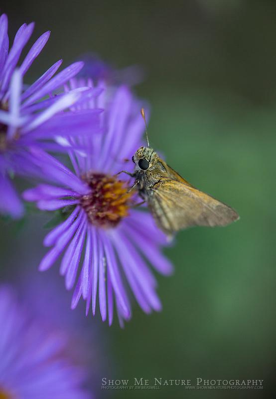 Moth on Purple Aster wildflower