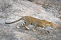 Female leopard (Panthera pardus) stalking prey on a rocky outcrop. Jawai / Bera in Rajasthan, India.